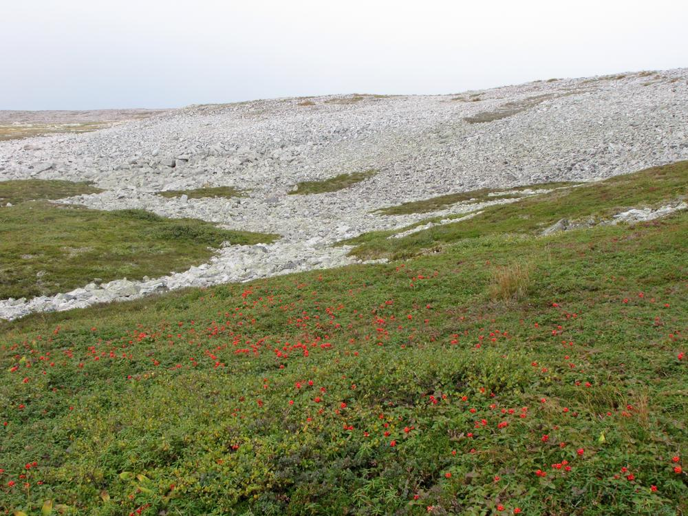 Lots of scree rock, tundra landscape, and bunchberry