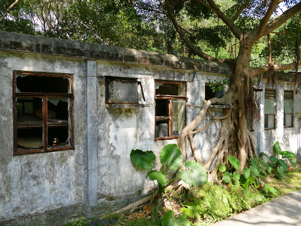 A banyan tree invading a recently abandoned building