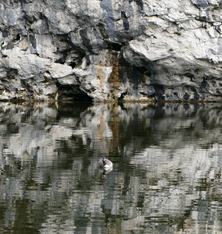 A Canada Goose floating against a backdrop of white and gray stone