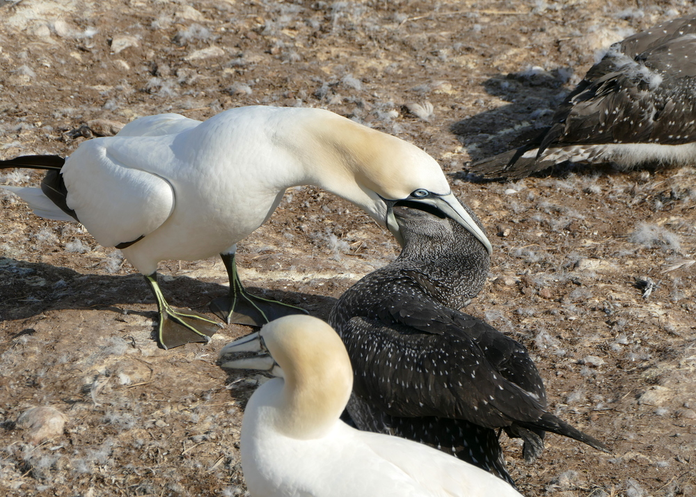 A mostly white parent gannet appears to swallow the head of its mixed gray offspring