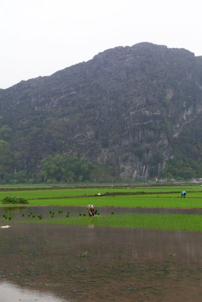 Planting in the rice fields
