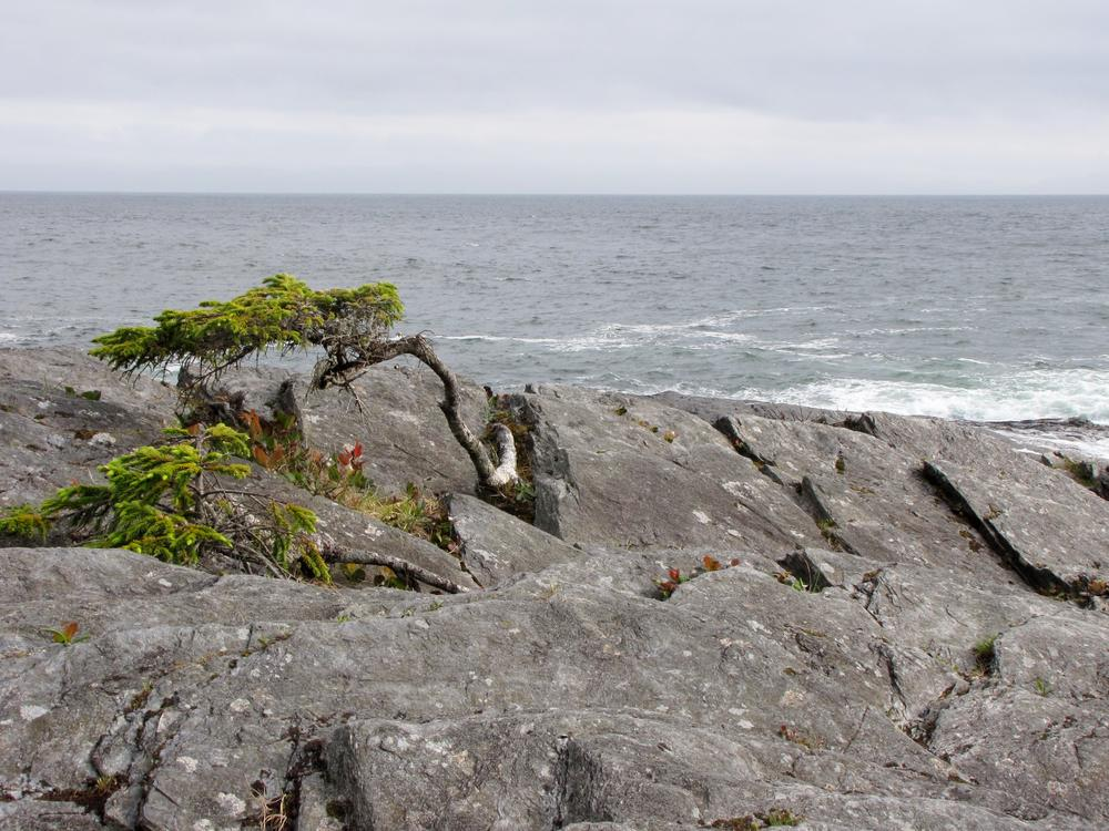Natural bonsai tree on the rocks near Port Renfrew on Vancouver Island